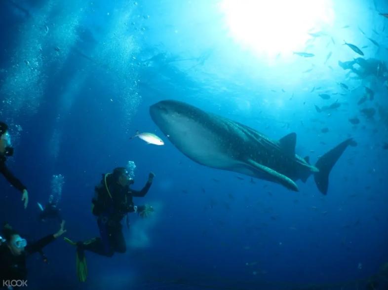 潛水與鯨鯊共游