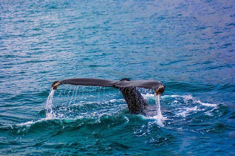 墾丁出現鯨鯊